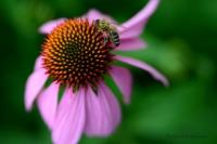 Eine Biene auf der Suche