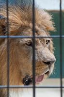 Löwe im Käfig