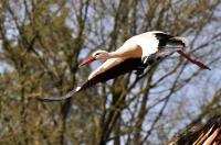Storch im Abflug