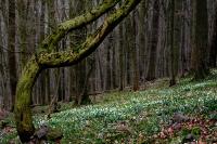 Buschwindröschen und Cillablüte
