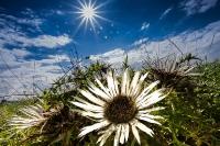 Silberdistel - Die Sonne der Rhön