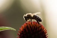 Biene im Gegenlicht